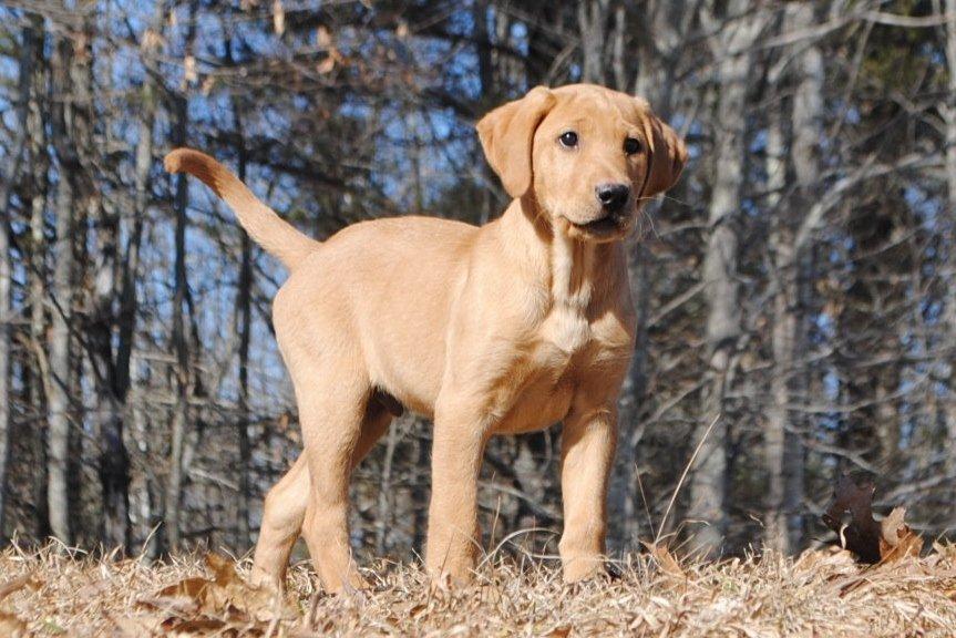 Maranath Farm Kennels Male Labrador Retrievers Breeders Sires
